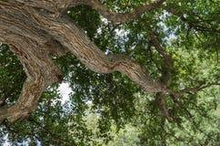 Baum mit grünen Blättern, großer Baum, Schuss genommen von der Unterseite stockfotos