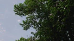 Baum mit gr?nen Bl?ttern stock footage