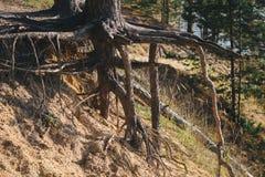 Baum mit großen Wurzeln über dem Boden Stockfotografie