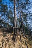 Baum mit großen Wurzeln über dem Boden Lizenzfreie Stockfotos