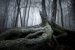 Baum mit großen Wurzeln im Winter im mysteriösen Wald mit Nebel Lizenzfreies Stockfoto