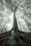 Baum mit großen Wurzeln in verzaubertem Wald mit Nebel Lizenzfreie Stockbilder