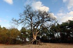 Baum mit herausgestellten Wurzeln Lizenzfreie Stockfotos