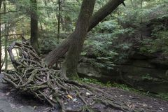 Baum mit herausgestellten Wurzeln stockfoto