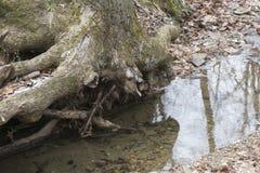 Baum mit herausgestellten Wurzeln stockfotografie