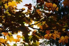 Baum mit Herbstblättern Rot und Orange färbt Efeublattnahaufnahme Stockbild