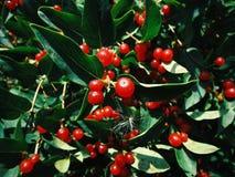 Baum mit kleinen roten Beeren lizenzfreie stockfotos