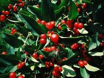 Baum mit kleinen roten Beeren stockfotografie