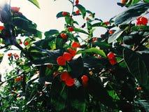 Baum mit kleinen roten Beeren lizenzfreie stockbilder