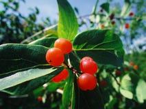 Baum mit kleinen roten Beeren lizenzfreies stockbild