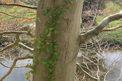 Baum mit Kriechpflanze gegen Hintergrund des Flusses und des grünen Grases Lizenzfreies Stockfoto