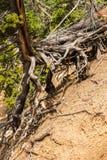 Baum mit langen Wurzeln über dem Boden am Künstler Point in Grand Canyon des Yellowstone, Yellowstone Nationalpark lizenzfreie stockfotografie