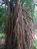 Baum mit langen Wurzeln Stockfotografie