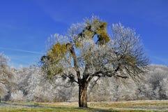 Baum mit Mistelzweig im Dezember Stockfotografie