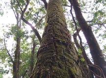 Baum mit Moos Doi Tulay u. x28; tulay mountain& x29; Stockfoto