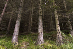 Baum mit Moos Norwegen stockbilder