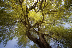 Baum mit Niederlassungen oben schauen Stockfoto