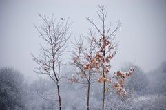 Baum mit Orange verlässt im Winter mit dem Schneefallen Stockbilder