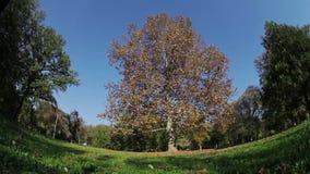 Baum mit Orange verlässt am windigen Sommertag stock footage