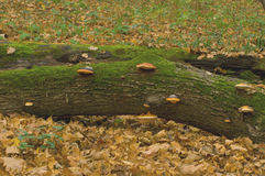 Baum mit Pilzen Lizenzfreie Stockfotografie