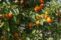 Baum mit reifen Orangen Stockfotos