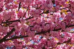 Baum mit rosa Blüte Stockfotos
