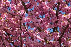 Baum mit rosa Blüte Lizenzfreie Stockfotos