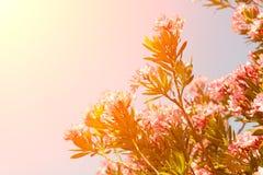 Baum mit rosa Blumen gegen den Himmel Lizenzfreies Stockbild