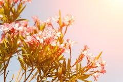 Baum mit rosa Blumen gegen den Himmel und die Sonne Lizenzfreies Stockfoto