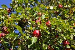 Baum mit roten Äpfeln lizenzfreies stockbild