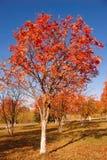 Baum mit roten Blättern Stockbild