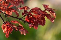 Baum mit roten Blättern Stockbilder