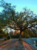 Baum mit roten Blättern des Wunders Stockbilder