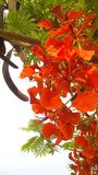Baum mit roten Blumen lizenzfreie stockfotografie