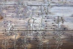 Baum mit Spuren eines Borkenkäfers stockfotos