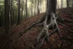 Baum mit Sumpfwurzeln in verzaubertem Wald Stockbild