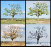 Baum mit vier Jahreszeiten Stockfotos