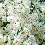 Baum mit weißen Blumen der Blüte Lizenzfreie Stockbilder