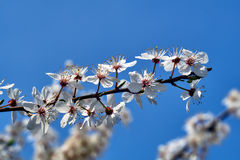 Baum mit weißen Blumen gegen den Himmel im Frühjahr Lizenzfreie Stockfotografie