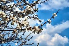 Baum mit weißen Blumen gegen den Himmel im Frühjahr Stockbild