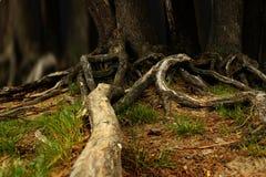 Baum mit Wurzeln Stockfoto