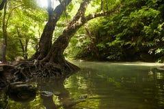 Baum mit Wurzeln auf den Banken des tropischen Flusses Stockfoto