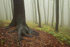 Baum mit Wurzeln in einem bunten Wald mit Nebel Lizenzfreie Stockfotografie