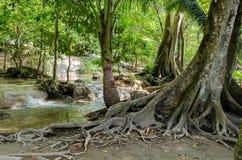 Baum mit Wurzeln im Regenwald, Dschungel Lizenzfreie Stockfotografie