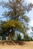 Baum mit Wurzeln in Thailand Lizenzfreie Stockfotografie