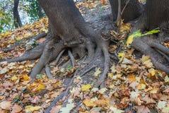 Baum mit Wurzeln und Gelbblättern Lizenzfreies Stockfoto