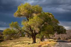 Baum in Nevada Stockfotografie