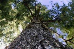 Baum oben schauen Lizenzfreie Stockfotografie