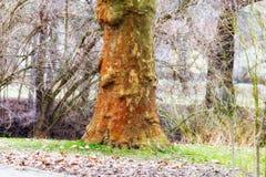 Baum ohne Barke im Park Stockbild