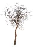 Bloßer kleiner lokalisierter Apfelbaum Lizenzfreies Stockbild
